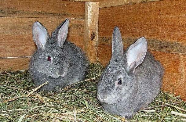 Два кролика полтавское серебро