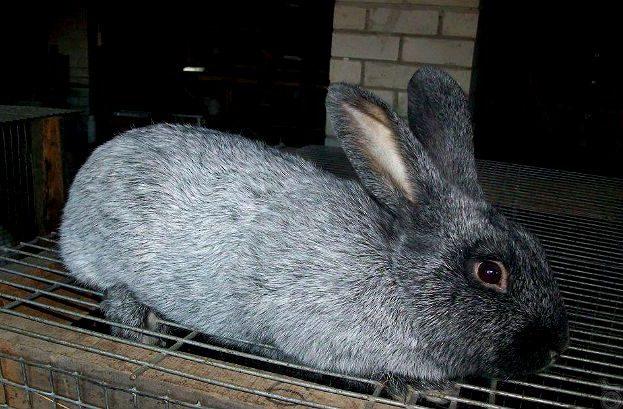 Кролики полтавское серебро - вид боку