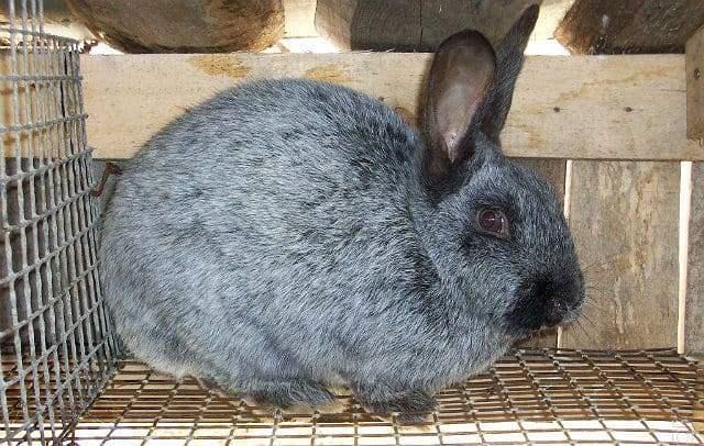 Кролики полтавское серебро - окрас