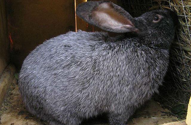 Кролики полтавское серебро ест сено