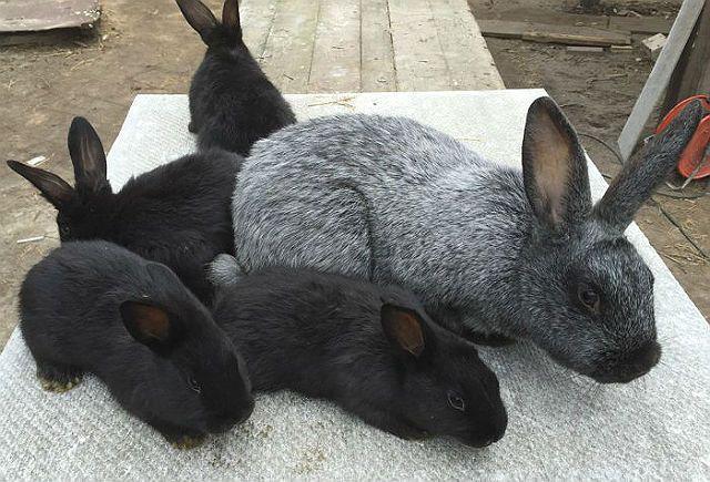 Кролики полтавское серебро - разведение