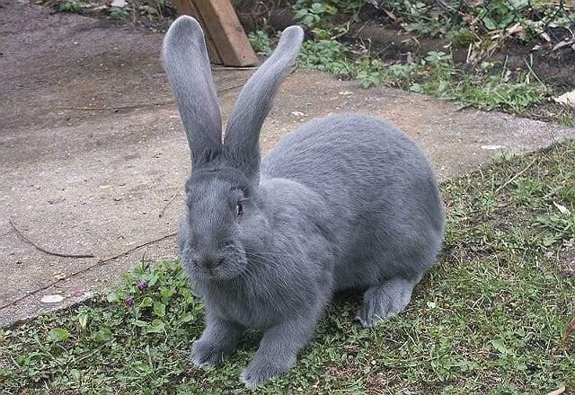 Кролики ризен - главное фото
