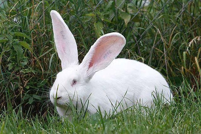 Кролик ризен - белый
