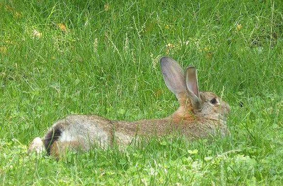 Кролик ризен лежит в траве