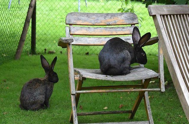 Кролики ризен - черные