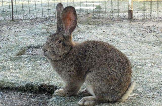 Кролик ризен - вид сбоку