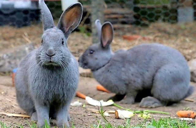 Кролики ризен - голубые