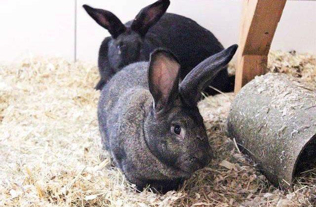 Кролики ризен темного окраса