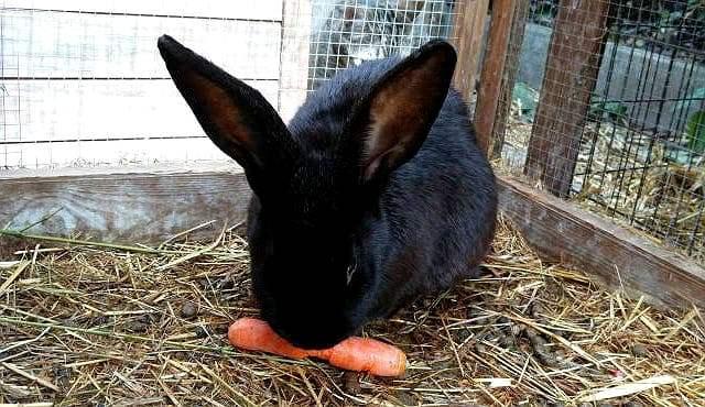 Кролик ризен - кормление
