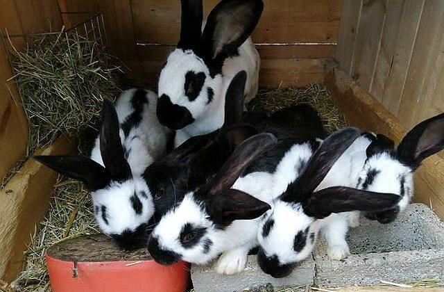 Кролики ризен черно-белого окраса