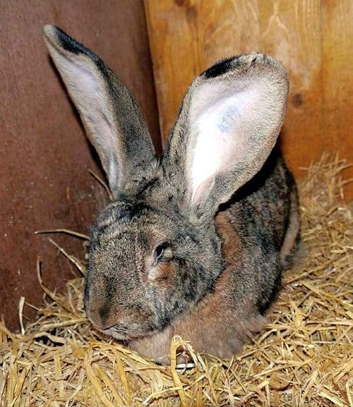 Кролик ризен - содержание