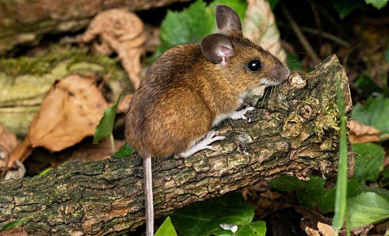 Лесная мышь - главное фото