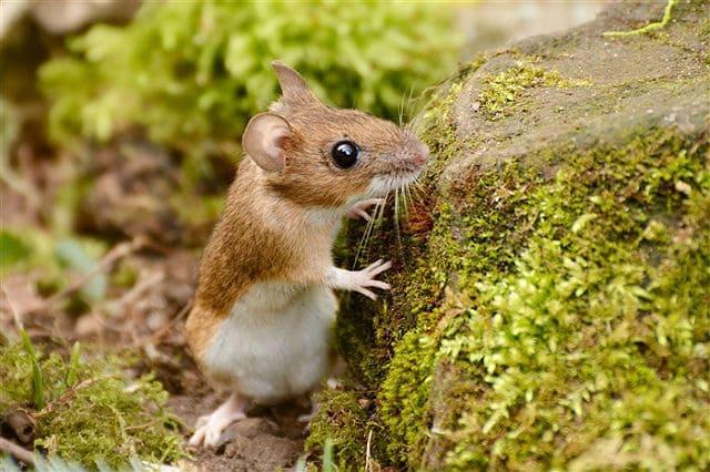 Лесные мыши - образ жизни