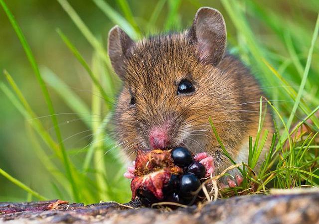 Лесные мыши - питание