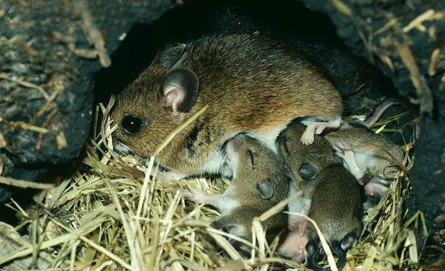 Лесные мыши - размножение