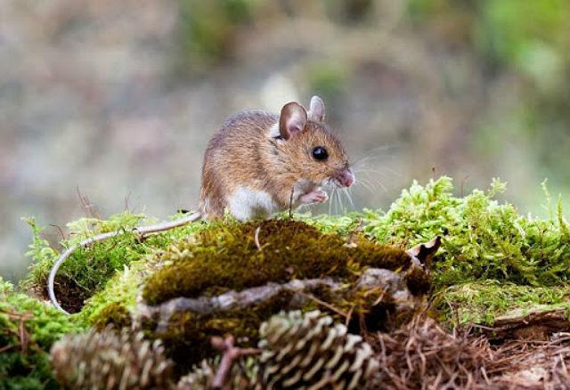 Лесные мыши - внешний вид