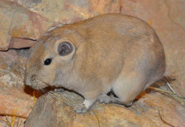 Крупный грызун - массутьера