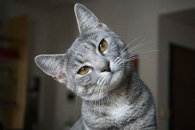 Метис сфинкса и обычной кошки