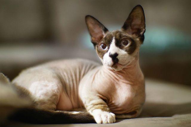 Какие котята могут родиться от сфинкса и обычной кошки thumbnail