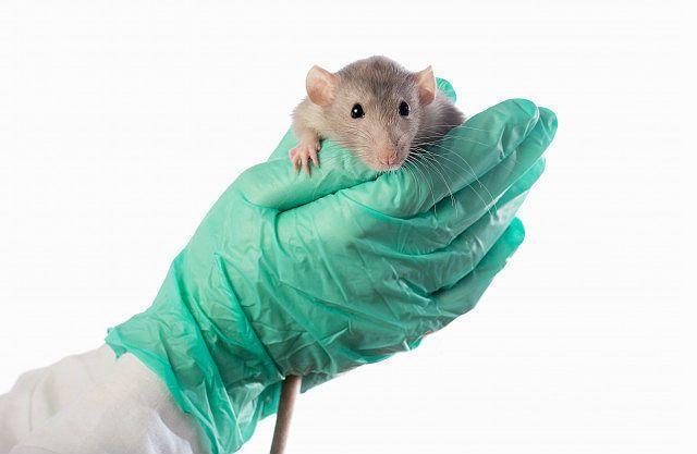 Микоплазмоз у крыс - главное фото