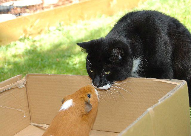 Морская свинка и взрослая кошка