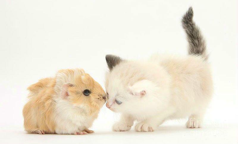 Морская свинка и кошка - главное фото
