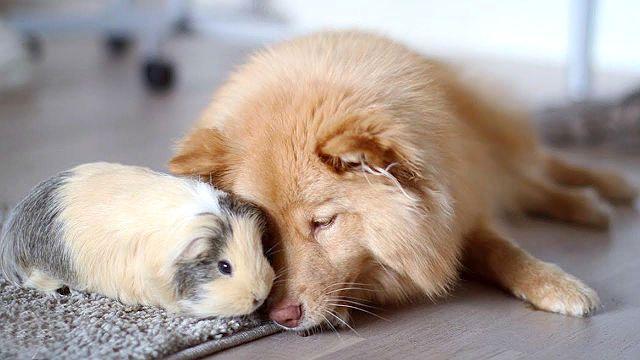 Морская свинка и собака