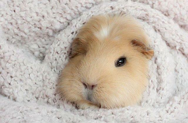 Морская свинка тедди - мордочка