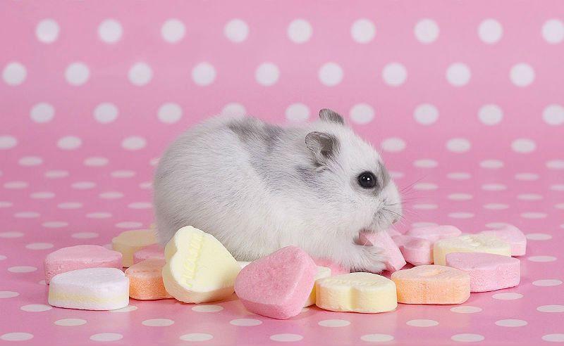 Можно ли кормить хомяка сладостями - главное фото