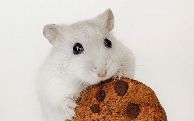 Можно ли кормить хомяка печеньем