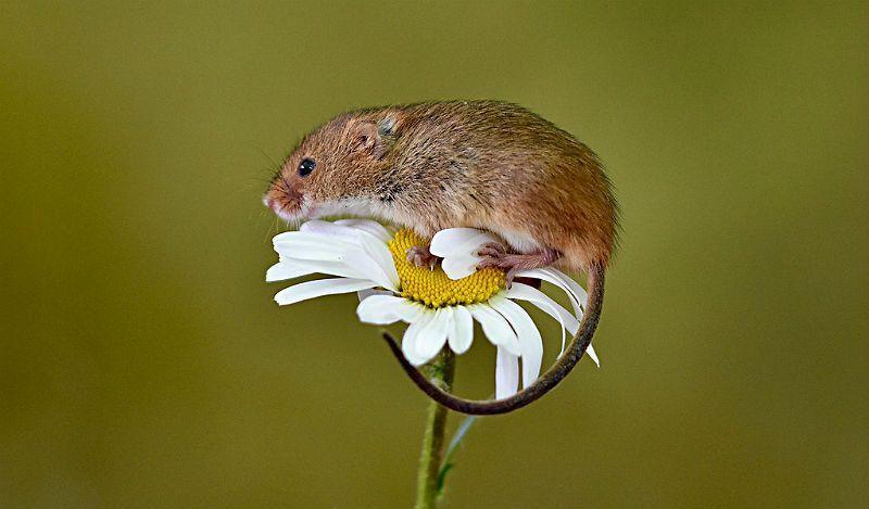 Мышь-малютка - главное фото