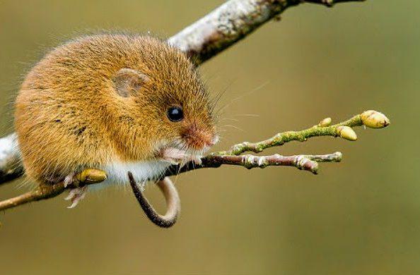Мышь-малютка сидит на веточке