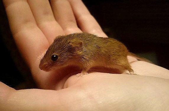 Мышь-малютка на ладошке