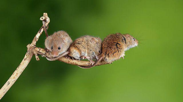 Мышь-малютка - размножение