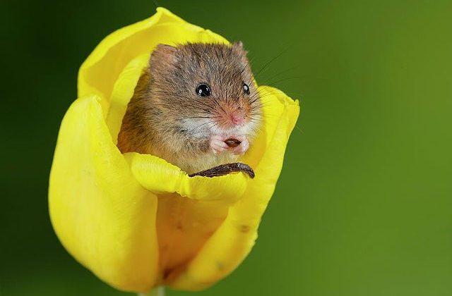 Мышь-малютка в бутоне цветка
