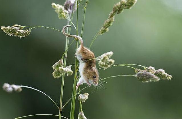 Мышь (малютка(