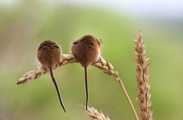 Мышки-малютки - вид сзади