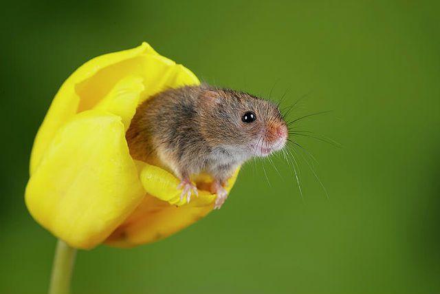 Мышь-малютка - среда обитания