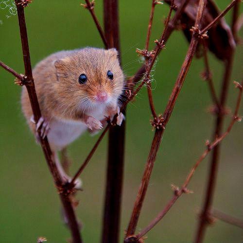 Мышь-малютка-1