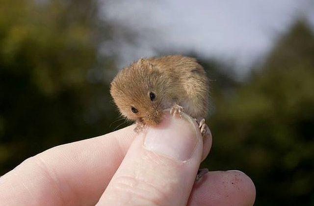 Мышь-малютка с ноготок