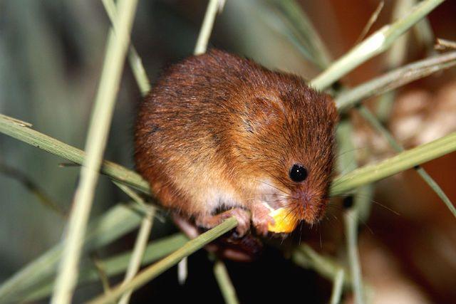 Мышь-малютка - питание