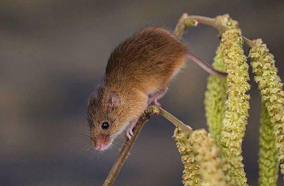 Мышь-малютка-2