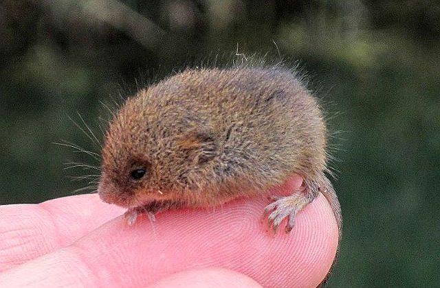 Мышь-малютка на пальце