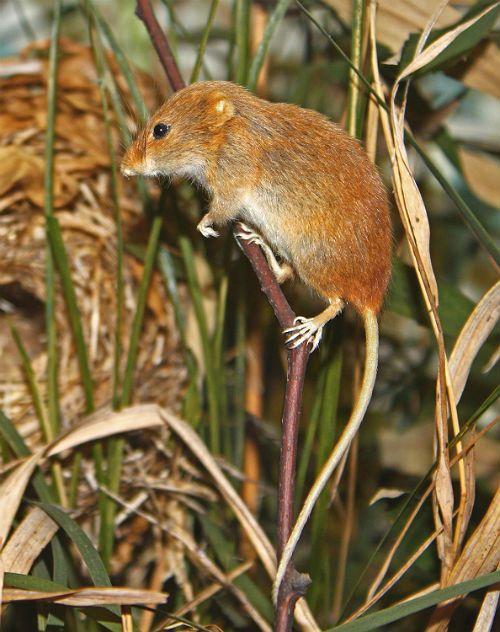 Мышь-малютка - внешний вид