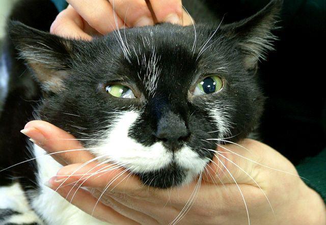 Пленка на глазах у кошки - синдром Хорнера