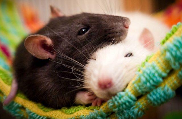 Породы домашних крыс - главное фото