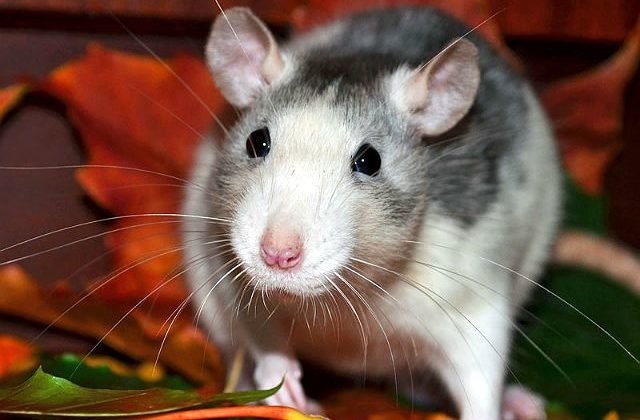 Декоративная крыса хаски