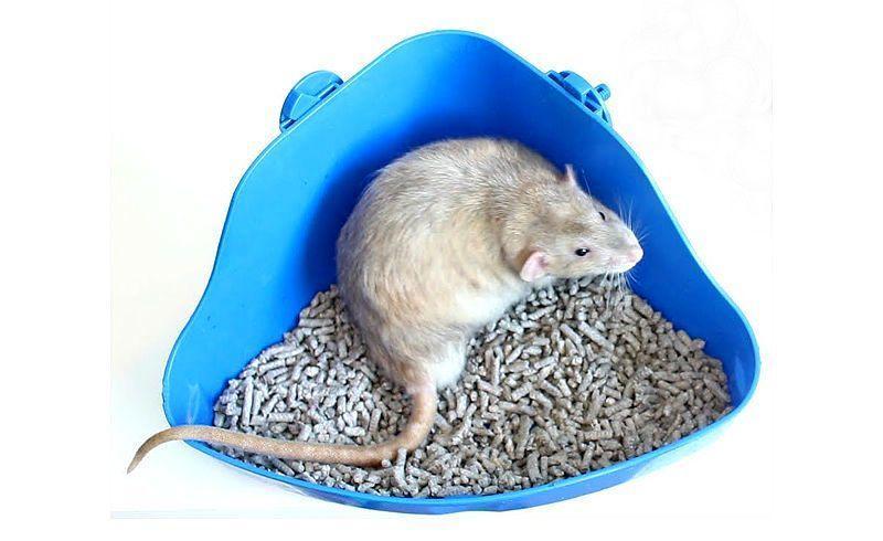 Приучение крыс к туалету - главное фото