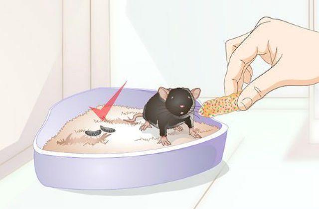 Как приучить крысу к лотку