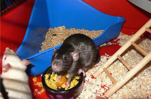 Крысы в клетке с туалетом